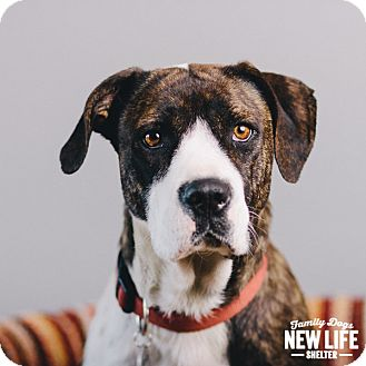 Pit Bull Terrier/Pointer Mix Dog for adoption in Portland, Oregon - Dove
