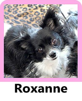 Papillon/Chihuahua Mix Dog for adoption in Wichita Falls, Texas - Roxanne