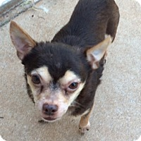 Adopt A Pet :: Little Max - Edmond, OK