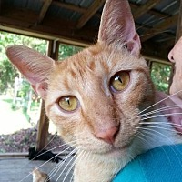 Domestic Shorthair Cat for adoption in Freeport, Florida - Morrisey