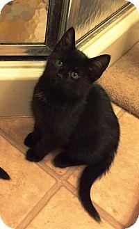 Maine Coon Kitten for adoption in Medford, New Jersey - Merlin (Fluffy's Kittens)