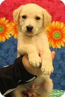 Labrador Retriever/Shepherd (Unknown Type) Mix Puppy for adoption in Bedminster, New Jersey - Rufus