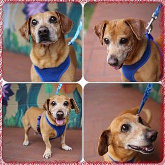 Dachshund Dog for adoption in Weston, Florida - Newberry