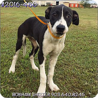 Bernese Mountain Dog Mix Dog for adoption in Bonham, Texas - 2016-480