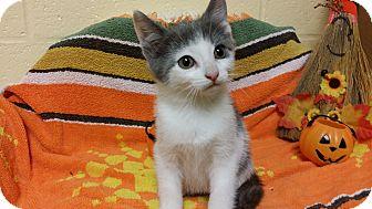 Domestic Shorthair Kitten for adoption in Kensington, Connecticut - Little Girl
