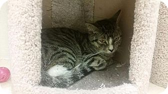 Domestic Shorthair Kitten for adoption in Westbury, New York - Gidget