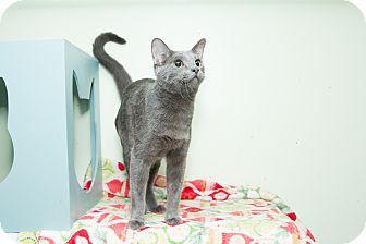 Russian Blue Cat for adoption in Chicago, Illinois - Matt