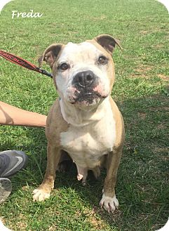 Pit Bull Terrier Mix Dog for adoption in Salamanca, New York - Freda (Adoption Pending)