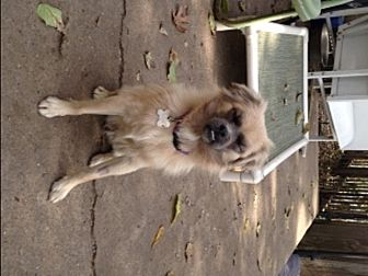 Pekingese/Shih Tzu Mix Dog for adoption in Cincinnati, Ohio - Monkey