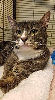Domestic Shorthair Cat for adoption in Sewaren, New Jersey - Figaro
