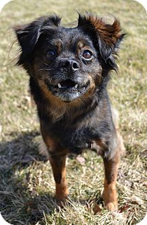 Pomeranian/Schnauzer (Standard) Mix Dog for adoption in Michigan City, Indiana - Tucker