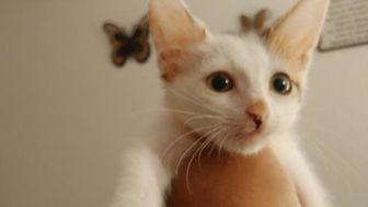 Domestic Shorthair Kitten for adoption in Camarillo, California -