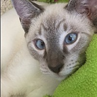Adopt A Pet :: siamese mix - yuba city, CA