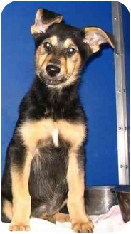 Collie/Shepherd (Unknown Type) Mix Puppy for adoption in Cold Lake, Alberta - Mango