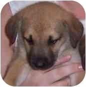 Labrador Retriever/Shepherd (Unknown Type) Mix Puppy for adoption in Hammonton, New Jersey - Ariel