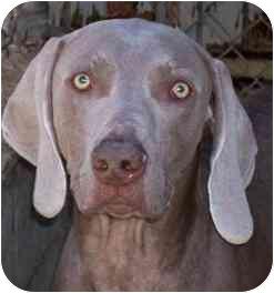 Weimaraner Dog for adoption in Eustis, Florida - Leo