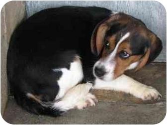 Beagle Puppy for adoption in Portland, Ontario - Dakota