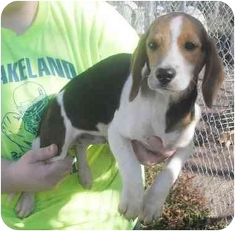 Beagle Mix Puppy for adoption in Honesdale, Pennsylvania - Starsky