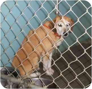Beagle/Golden Retriever Mix Dog for adoption in Blackstone, Virginia - Foxy