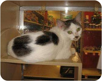 Domestic Shorthair Cat for adoption in North Haven, Connecticut - Calista