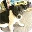 Photo 2 - Rat Terrier Mix Puppy for adoption in Phoenix, Arizona - Simba