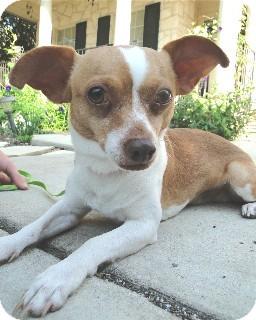 Chihuahua Dog for adoption in Schertz, Texas - Moe Jefferson (and Joe)