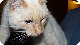 Siamese Cat for adoption in Bentonville, Arkansas - Nacho