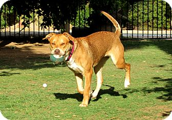 Shepherd (Unknown Type)/Labrador Retriever Mix Dog for adoption in Phoenix, Arizona - LUGNUT