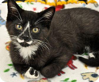Domestic Shorthair Kitten for adoption in Great Falls, Montana - Almanzo