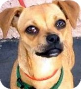 Chihuahua Mix Dog for adoption in Los Angeles, California - CIDER (video)