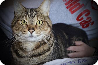 Domestic Shorthair Cat for adoption in Xenia, Ohio - Timmy