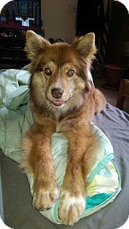 Australian Shepherd Mix Dog for adoption in waterbury, Connecticut - Beverly