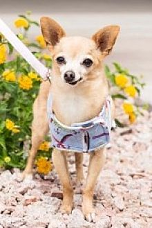 Chihuahua Mix Dog for adoption in Mesa, Arizona - Chico Sr.
