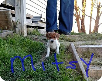 Hound (Unknown Type) Mix Puppy for adoption in Ft. Collins, Colorado - Mitsy