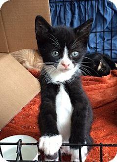 Domestic Shorthair Kitten for adoption in Brooklyn, New York - Allegra