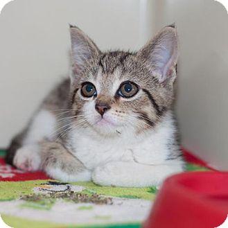 Domestic Shorthair Kitten for adoption in New Martinsville, West Virginia - BooBo