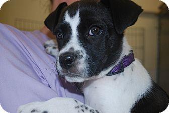 Boston Terrier/Boxer Mix Puppy for adoption in Twin Falls, Idaho - Ladybug