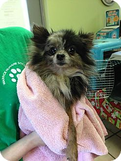 Pomeranian Dog for adoption in Newburgh, Indiana - Clive