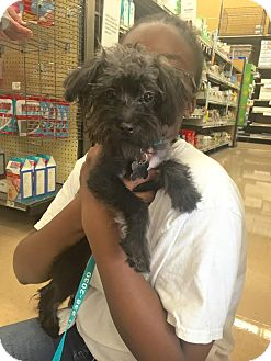 Cairn Terrier/Maltese Mix Puppy for adoption in Homestead, Florida - Cody