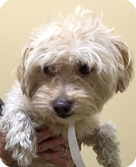Shih Tzu/Poodle (Miniature) Mix Puppy for adoption in Oswego, Illinois - I'M ADOPTED Squeaks Phelps