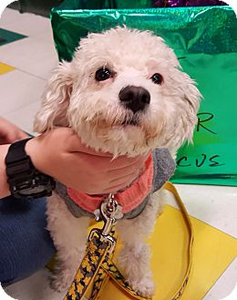 Poodle (Miniature) Mix Dog for adoption in Detroit, Michigan - Wheatley-Adopted!
