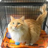 Adopt A Pet :: Fluffy - Webster, MA