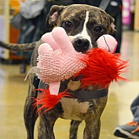Pit Bull Terrier Mix Dog for adoption in Rockford, Illinois - Callie