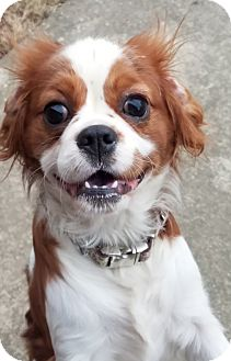 Cavalier King Charles Spaniel Puppy for adoption in Fairview Heights, Illinois - Love Bug