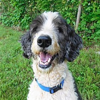 Old English Sheepdog/Poodle (Standard) Mix Dog for adoption in Spartanburg, South Carolina - Sherlock