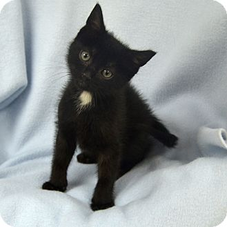 Domestic Shorthair Kitten for adoption in Wheaton, Illinois - Star