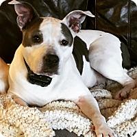 Pit Bull Terrier/American Bulldog Mix Dog for adoption in Oak Ridge, New Jersey - Emmie