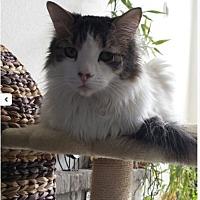 Adopt A Pet :: Latte - Littleton, CO
