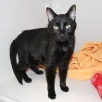 Domestic Shorthair/Domestic Shorthair Mix Cat for adoption in Greensboro, Georgia - Ty