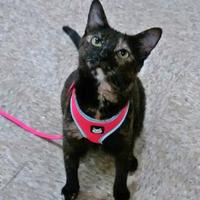 Adopt A Pet :: Catera - Chandler, AZ